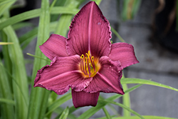 Summer Wine Daylily (Hemerocallis 'Summer Wine') at Schaefer Greenhouses