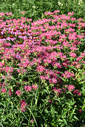 Coral Reef Beebalm (Monarda didyma 'Coral Reef') at Schaefer Greenhouses