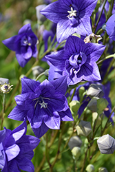 Astra Double Blue Balloon Flower (Platycodon grandiflorus 'Astra Double Blue') at Schaefer Greenhouses