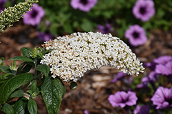 Pugster® White Butterfly Bush (Buddleia 'SMNBDW') at Schaefer Greenhouses