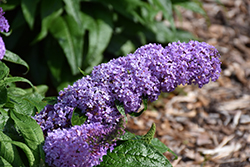 Pugster® Lavender Butterfly Bush (Buddleia 'Pugster Lavender') at Schaefer Greenhouses