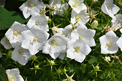 White Clips Bellflower (Campanula carpatica 'White Clips') at Schaefer Greenhouses