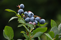 Northland Blueberry (Vaccinium corymbosum 'Northland') at Schaefer Greenhouses