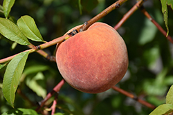 Redhaven Peach (Prunus persica 'Redhaven') at Schaefer Greenhouses