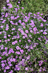 Pink Creeping Baby's Breath (Gypsophila repens 'Rosea') at Schaefer Greenhouses