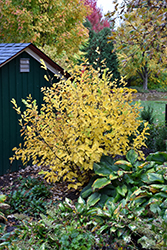 Vernal Witchhazel (Hamamelis vernalis) at Schaefer Greenhouses