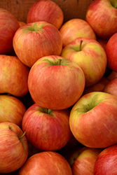 Honeycrisp Apple (Malus 'Honeycrisp') at Schaefer Greenhouses