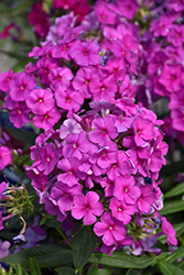 Purple Flame Garden Phlox (Phlox paniculata 'Purple Flame') at Schaefer Greenhouses