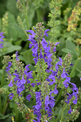 Fashionista® Midnight Model Sage (Salvia 'Midnight Model') at Schaefer Greenhouses