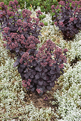 Night Embers Stonecrop (Sedum 'Night Embers') at Schaefer Greenhouses