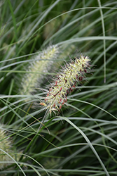 Little Bunny Dwarf Fountain Grass (Pennisetum alopecuroides 'Little Bunny') at Schaefer Greenhouses