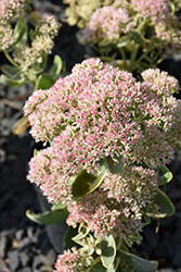 Autumn Charm Stonecrop (Sedum 'Autumn Charm') at Schaefer Greenhouses