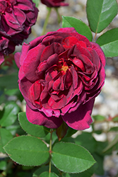 Darcey Bussell Rose (Rosa 'Darcey Bussell') at Schaefer Greenhouses