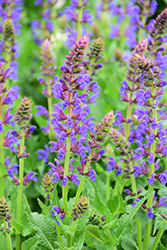 Sallyrosa™ April Night Meadow Sage (Salvia nemorosa 'DSALRS203') at Schaefer Greenhouses
